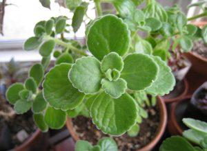 rýmovník rostlina